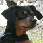 愛犬ココアの画像