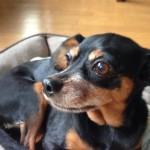 愛犬ココアの写真