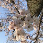 可憐な桜の写真